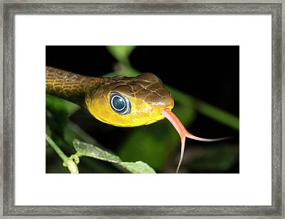 Long-tailed Machete Savanne Framed Print by Dr Morley Read
