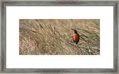 Long-tailed Meadowlark Framed Print