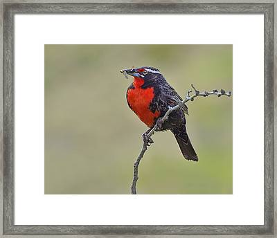Long-tailed Meadowlark Framed Print by Tony Beck
