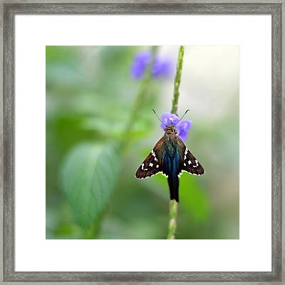 Long Tailed Skipper Framed Print by Laura Fasulo