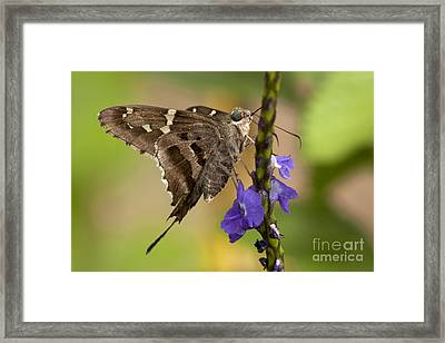 Framed Print featuring the photograph Long-tailed Skipper Photo by Meg Rousher