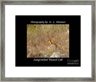 Long-tailed Weasel Cub Framed Print by Dennis Hammer