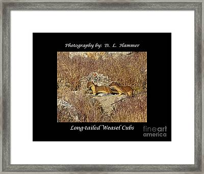 Long-tailed Weasel Cubs Framed Print by Dennis Hammer