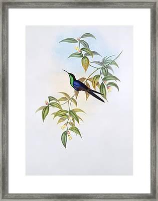 Long-tailed Woodnymph, Artwork Framed Print