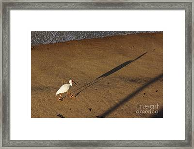 Long Tall Ibis Framed Print by Lynda Dawson-Youngclaus