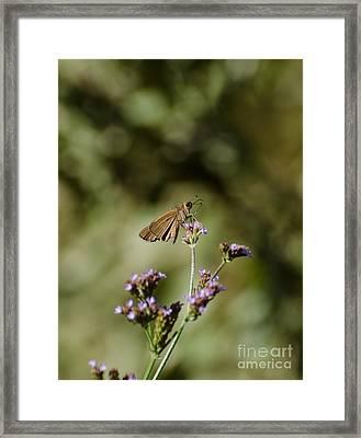 Long-winged Skipper Butterfly Framed Print