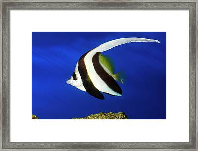 Longfin Bannerfish Framed Print