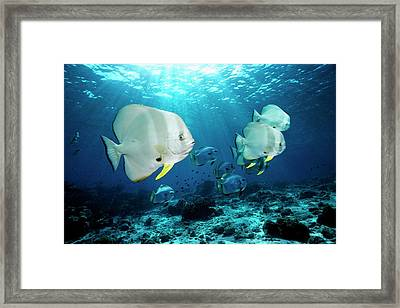 Longfin Spadefish Over A Reef Framed Print by Georgette Douwma