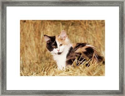 Longhair Calico Kitten In Golden Grass Framed Print