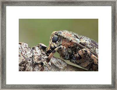 Longhorn Beetle With Mites Framed Print by Melvyn Yeo