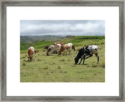 Longhorn Cattle Framed Print