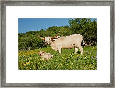 Longhorn Cattle On Central Texas Ranch Framed Print