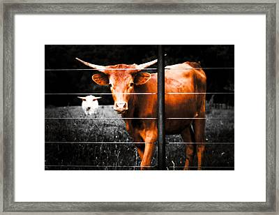 Longhorn Curiosity Framed Print