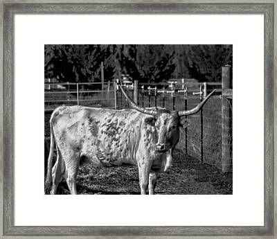 Longhorn Steer Down Framed Print