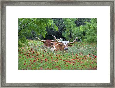 Longhorns In A Field Of Texas Wildflowers Framed Print by Rob Greebon