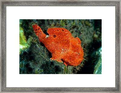 Longlure Frogfish Framed Print by Andrew J. Martinez