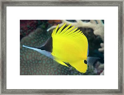 Longnose Butterflyfish On A Reef Framed Print