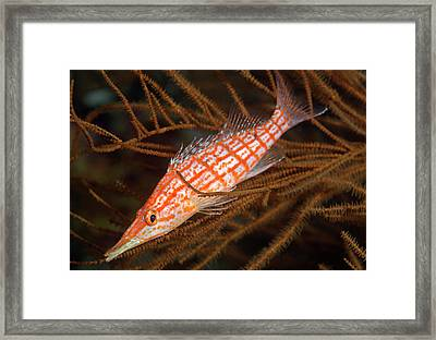 Longnose Hawkfish On Black Coral Framed Print by Louise Murray
