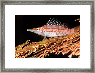 Longnose Hawkfish On Coral Framed Print by Louise Murray