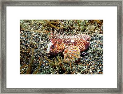 Longspine Waspfish Framed Print by Georgette Douwma