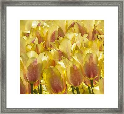 Longwood Gardens Tulips Framed Print by Jill Balsam
