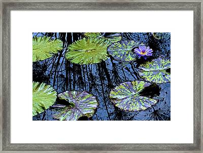 Longwood Lily Framed Print by Thomas Camp