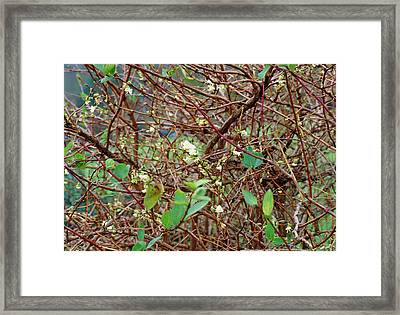 Lonicera X Purpusii Winter Beauty. Framed Print by Adrian Thomas/science Photo Library