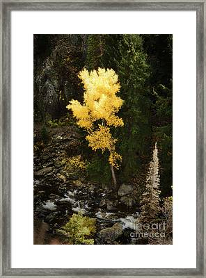 Lonly Aspen Framed Print by Jim  Calarese