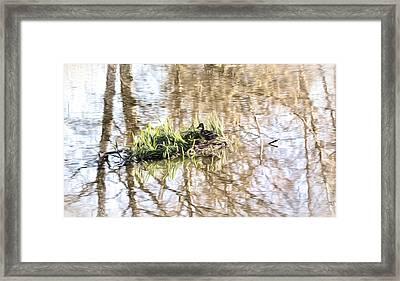 lonly island IMP - Female mallard duck on a floating island Framed Print