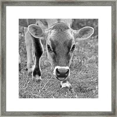 Look Into My Eyes - Jersey Cow Bw Framed Print by Gill Billington