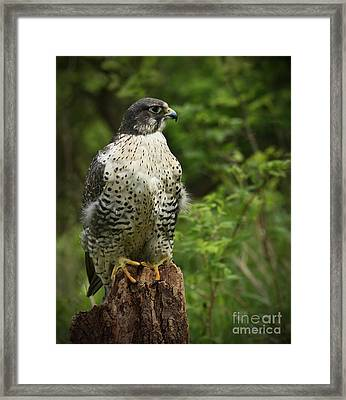 Look Out Point Gyrfalcon In The Forest Framed Print by Inspired Nature Photography Fine Art Photography