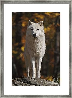 Framed Print featuring the photograph Look Out by Wolves Only