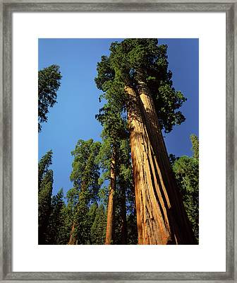 Looking Up A Giant Sequoia Tree Framed Print by Greg Probst