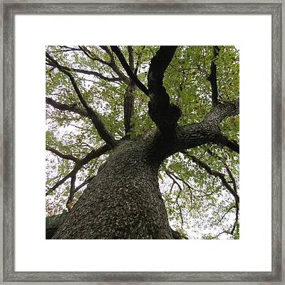 Looking Up A Tree Framed Print