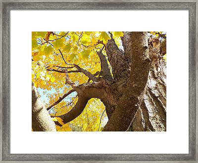 Looking Up The Maple Tree Framed Print