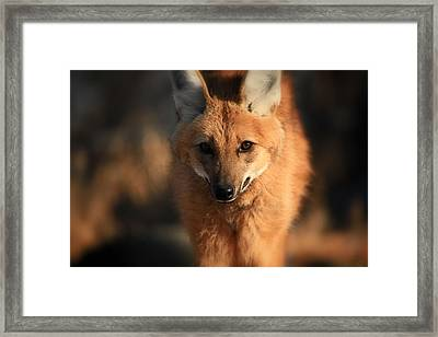 Looks Like A Fox Framed Print by Karol Livote