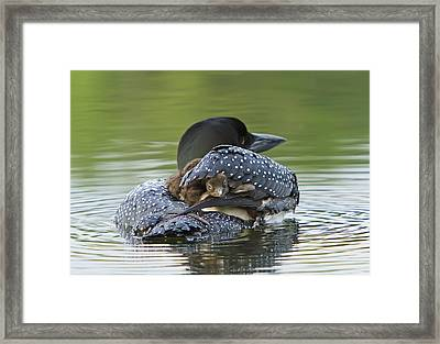 Loon Chick - Peek A Boo Framed Print by John Vose
