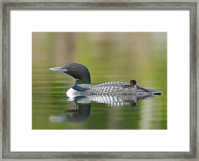Loon Chick With Parent - Quiet Time Framed Print by John Vose
