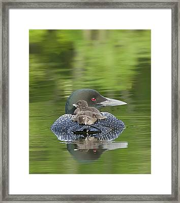 Loon Chicks -  Nap Time Framed Print by John Vose