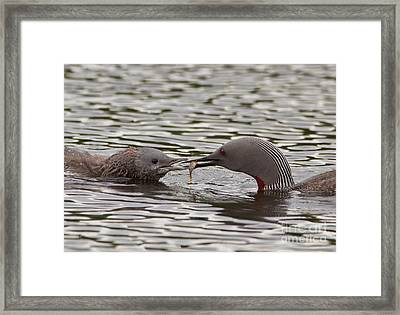 Loon Feeding Chick Framed Print
