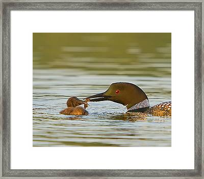 Loon Feeding Chick Framed Print by John Vose