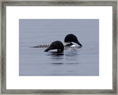Loon Love Framed Print by Brent L Ander