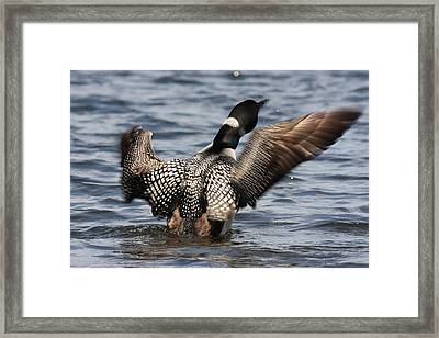 Loon On Jordan Pond Framed Print by Acadia Photography