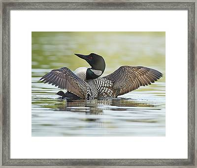 Loon Wing Spread With Chick Framed Print by John Vose