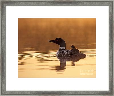 Loon With Chick At Dawn Framed Print