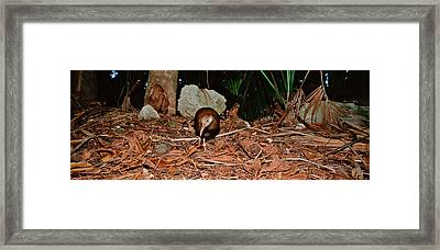Lord Howe Woodhen Bird Standing Under Framed Print by Panoramic Images