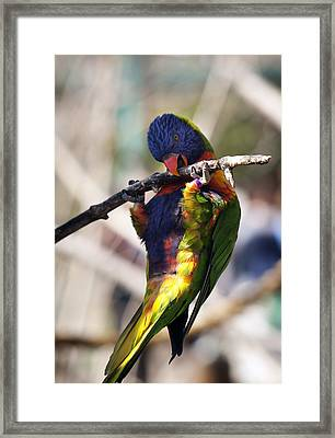 Lorikeet Bird Framed Print by Marilyn Hunt