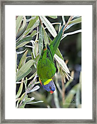 Lorikeet Framed Print by David Benson