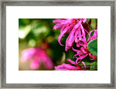 Loropetalum Study 1 Framed Print by Cathy Dee Janes