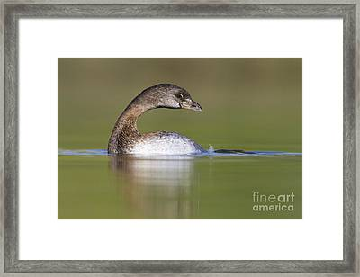Framed Print featuring the photograph Loss-neck Grebe by Bryan Keil